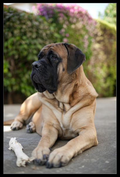 IMAGE: http://mastifffamily.smugmug.com/Pets/Our-Mastiffs/Karmen/586696933_XzLue-L.jpg