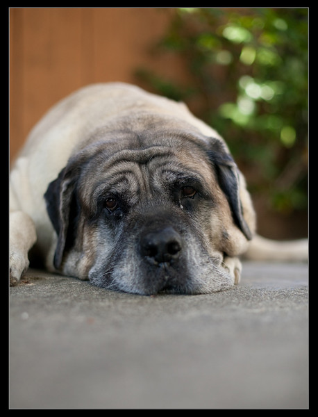IMAGE: http://mastifffamily.smugmug.com/Pets/Our-Mastiffs/Vanna2/586697818_qanZr-L.jpg